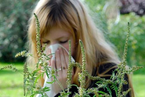 allergiya-na-ambroziyu-kak-lechit
